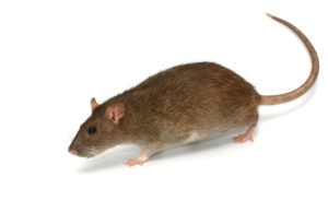 Grey rat on a white background close up